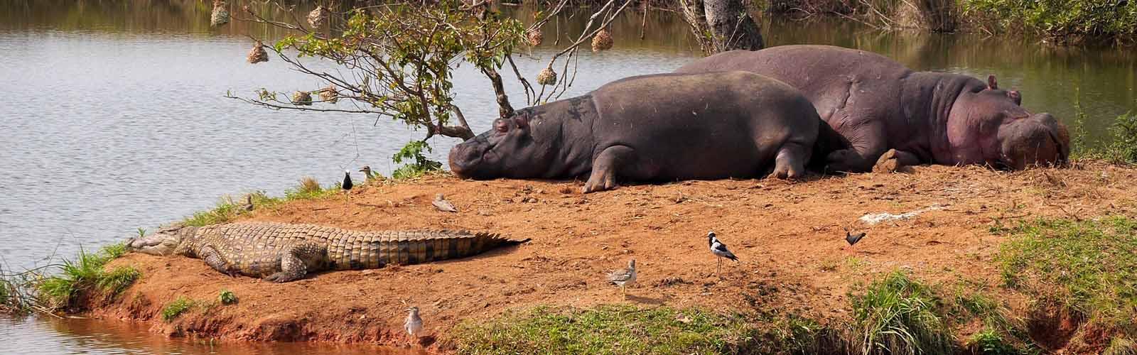 Hippo Hunting