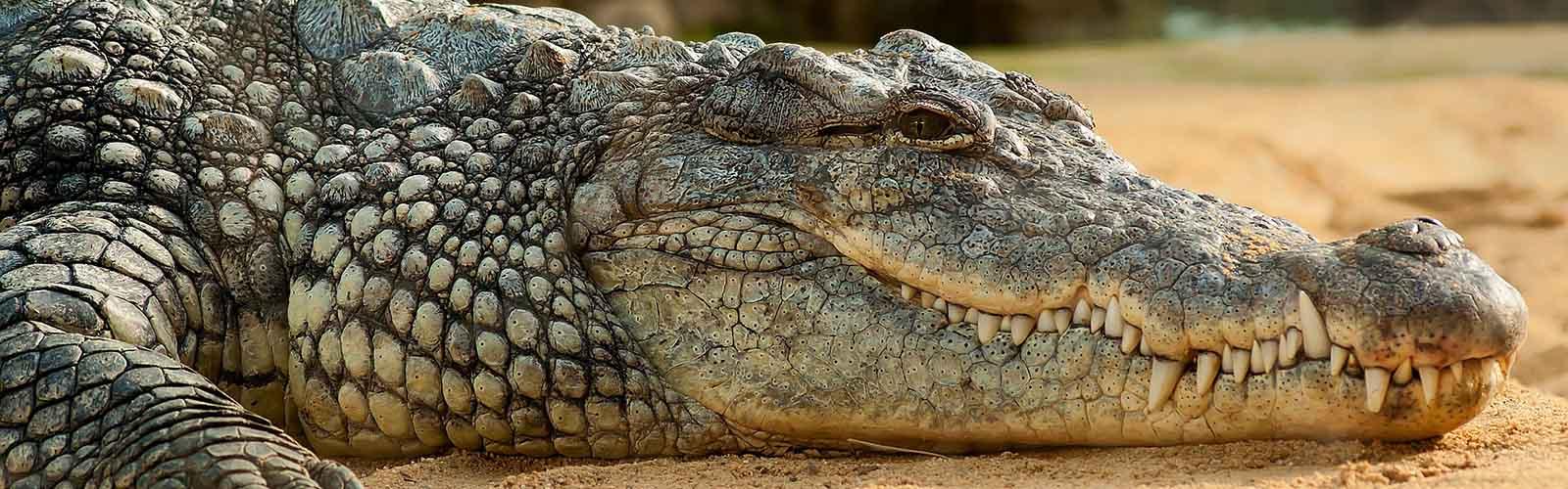 Nile Crocodile Hunting