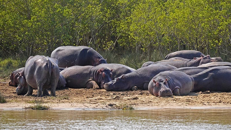 Hippos Suntanning