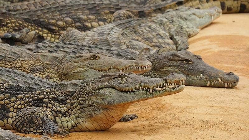 Zimbabwe Crocodile Hunt