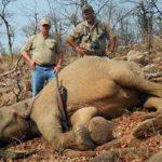 Tuskless Elephant Hunting Zimbabwe