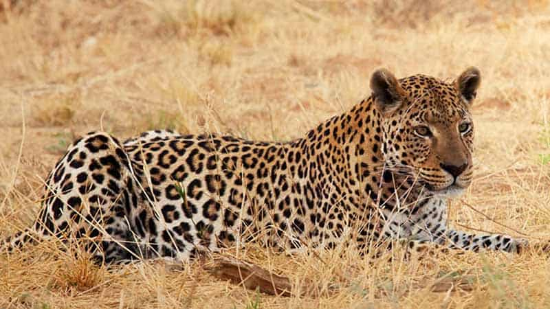 About The African Leopard