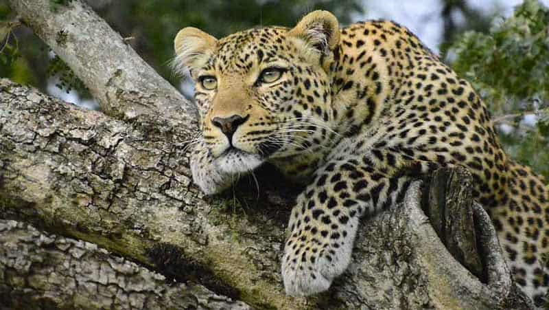 Leopard Habitat
